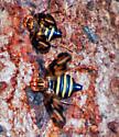Fly on Sap - Idana marginata
