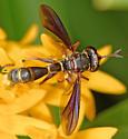 Physocephala sagittaria - female