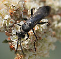 Episyron conterminus posterus - Episyron conterminus - male