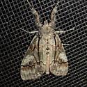 Streaked Tussock Moth - #8302 - Dasychira obliquata - female