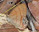 Nabokov's Satyr - Cyllopsis pyracmon