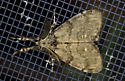 MothTussock09222016_CV_ - Orgyia leucostigma - male