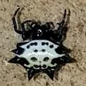 Spiney Backed Orb Weaver  - Gasteracantha cancriformis