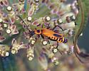 Goldenrod Leather-wing - Chauliognathus pensylvanicus