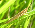 toothpick grasshopper? - Leptysma marginicollis