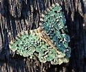 Which Moth?  - Leuconycta diphteroides