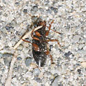 Unknown Beetle - Harpalus affinis
