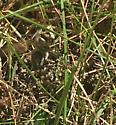 Bee or wasp? - Dolichovespula maculata