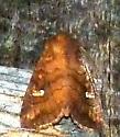 9/7/18 moth - Tricholita signata