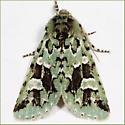 Comstock's Sallow Hodges# 10008 - Feralia comstocki