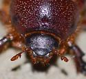 scarab - Tomarus gibbosus