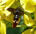 Unidentified wasp - Scolia dubia