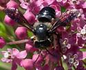 Bee on milkweed - Megachile xylocopoides