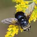 Leschenaultia? - Archytas metallicus