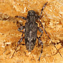 Longhorned Beetle - Graphisurus fasciatus - male