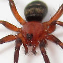 Callilepis pluto - female