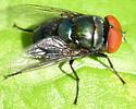 Chrysomya megacephala? - Chrysomya megacephala - male