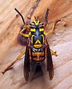 Spilomyia? - Spilomyia texana - female