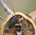 longhorn beetle - Stenaspis verticalis