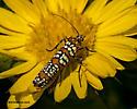 orange black and white insect - Atteva aurea