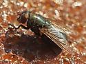 Black Blow Fly - Phormia regina - female
