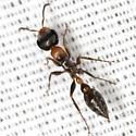 Twig Ant - Pseudomyrmex gracilis