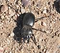 unknown beetle - Pasimachus