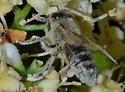 pollinator - Apis mellifera