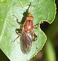 Orange fly - Brachyopa? - Hammerschmidtia ferruginea