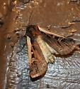 Western Bean Cutworm Moth - Striacosta albicosta -10878 - Striacosta albicosta