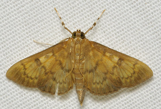 Brown feather moth - Psara obscuralis
