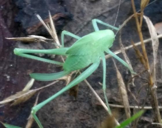 Orthoptera - Amblycorypha - female