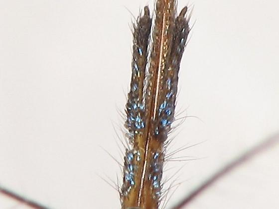 Gallinipper? - Psorophora howardii