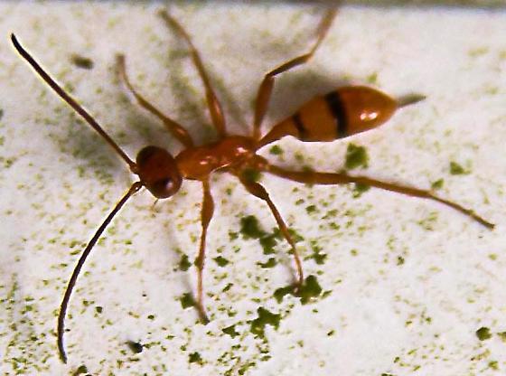 Orange Ant with Stinger - Gelis - female