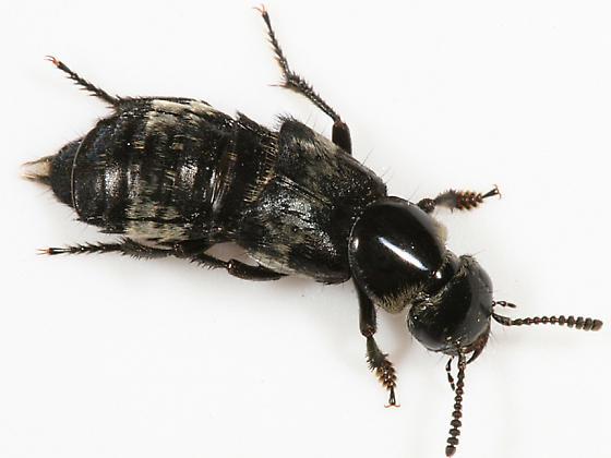 Hairy Rove Beetle - Creophilus maxillosus - male