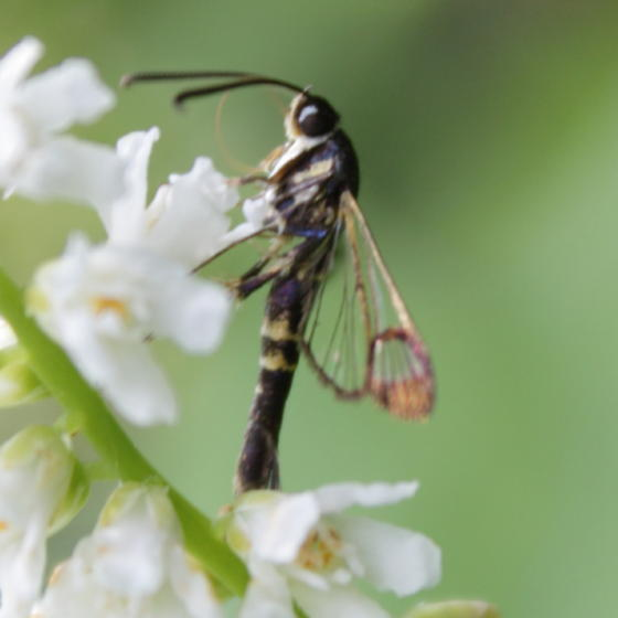 Clearwing Moth - Synanthedon rhododendri