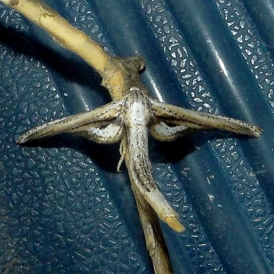 Window-winged Moth  - Hodges#6085 (Meskea dyspteraria) ? - Meskea dyspteraria
