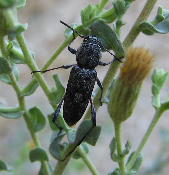 Neoclytus irroratus