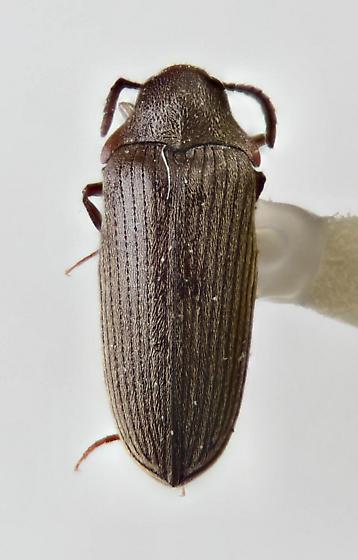 Throscidae - Pactopus horni