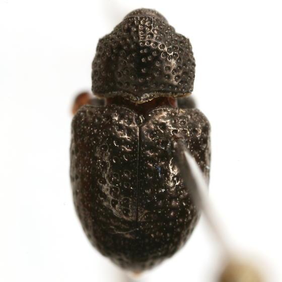 Chalcodermus aeneus Boheman - Chalcodermus aeneus