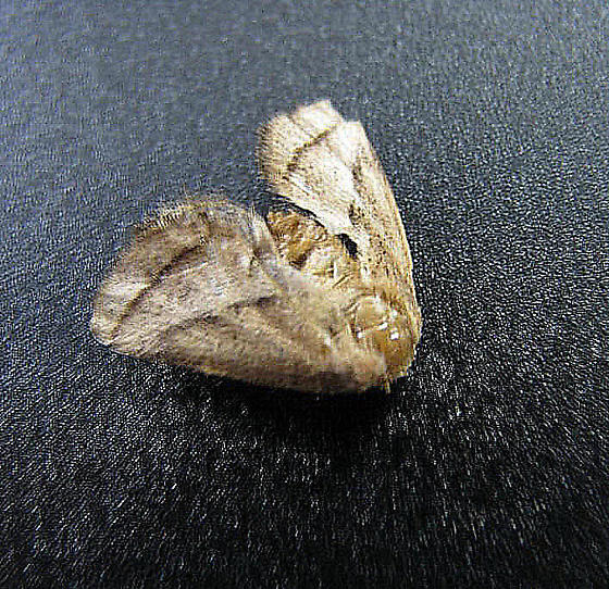 Nason's Slug - First PA Datapoint - Natada nasoni