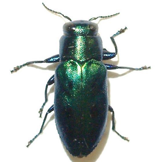 Shiny green bup - Chrysobothris lucana