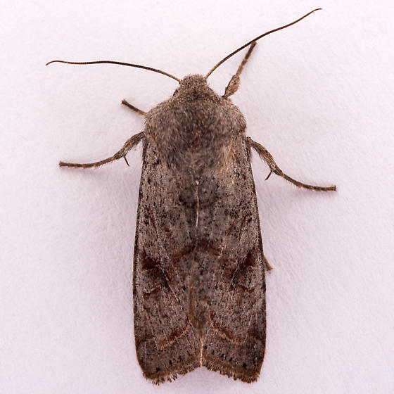 unknown Noctuid - Orthosia hibisci