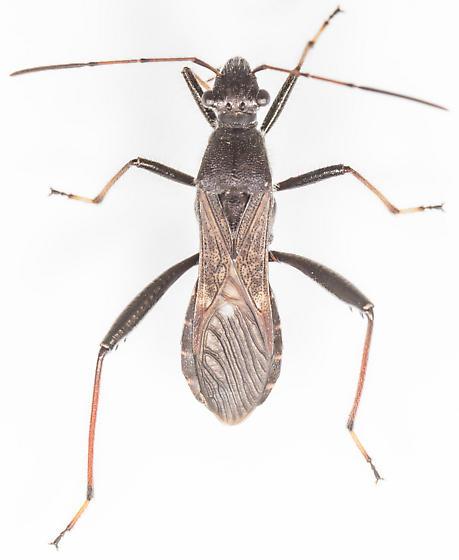 Bug - Alydus eurinus