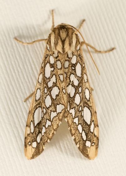Erebid moth? - Lophocampa argentata - female