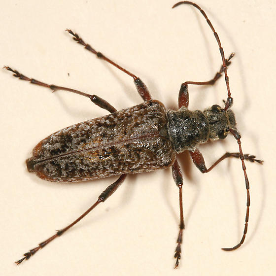 Longhorned Beetle - Anthophylax attenuatus