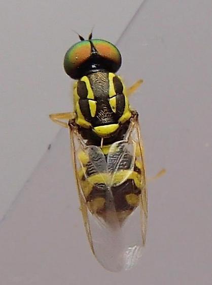 Fly - Oxycera variegata - male