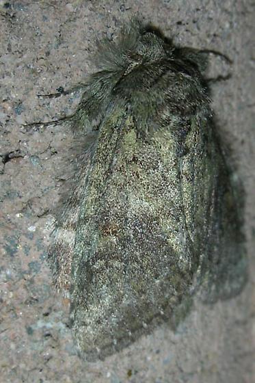 Grey/green fuzzy moth - Heterocampa guttivitta
