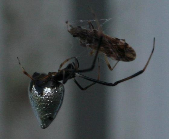 Argyrodes but  nephilae or elevatus? - female