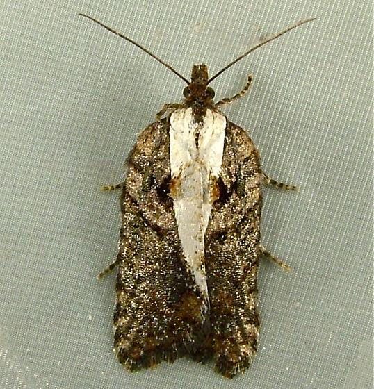 Acleris hastiana - 3531 - Acleris hastiana